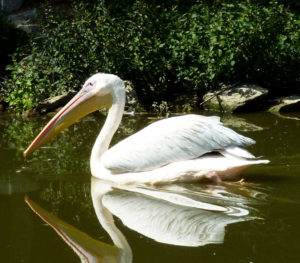 pelican au zoo de beauval