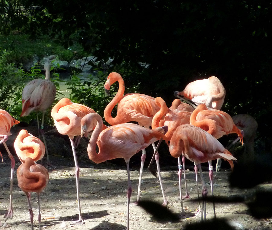 flamants rose au zoo de beauval