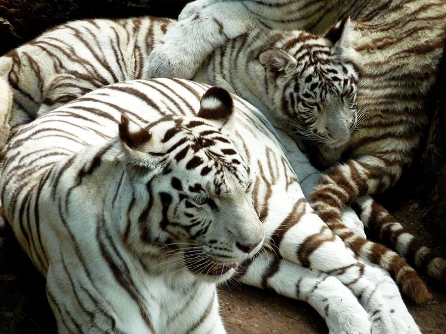 tigres blancs au zoo de beauval