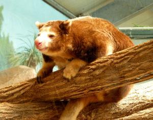 panda roux au zoo de beauval