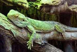 iguane au zoo de beauval