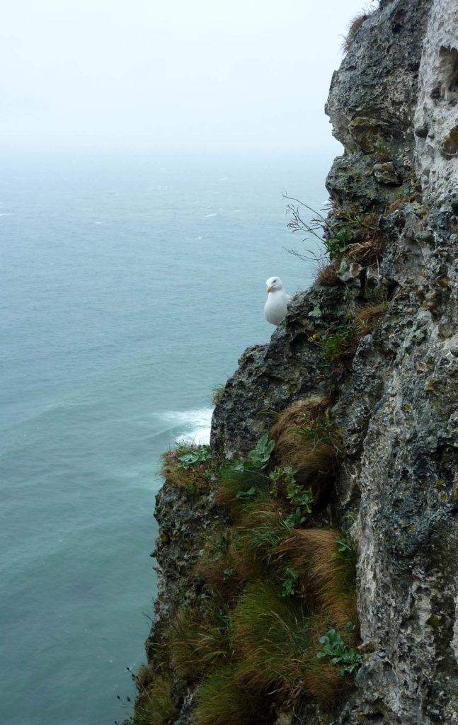 mouette sur la falaise etretat