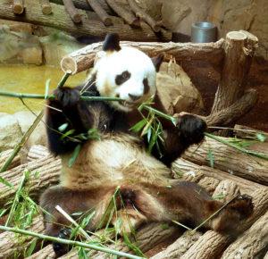 Panda et bambous au zoo de Beauval