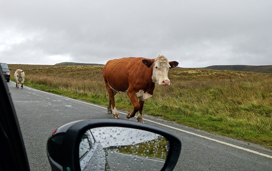 ecosse vache
