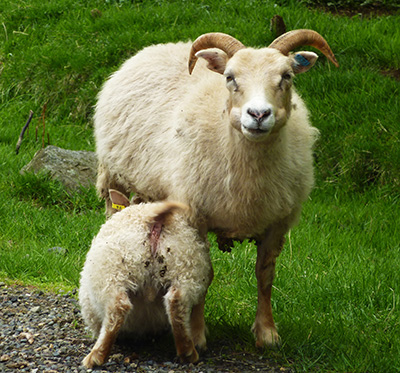 mouton agneau islande