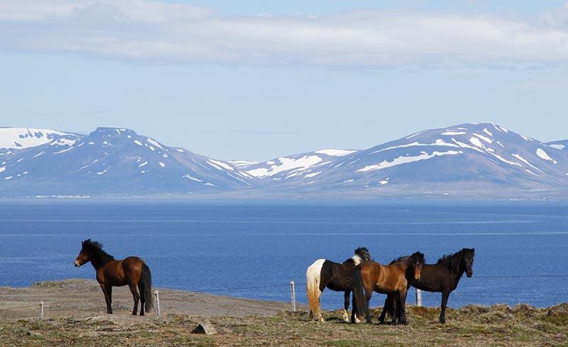 chevaux mer islande