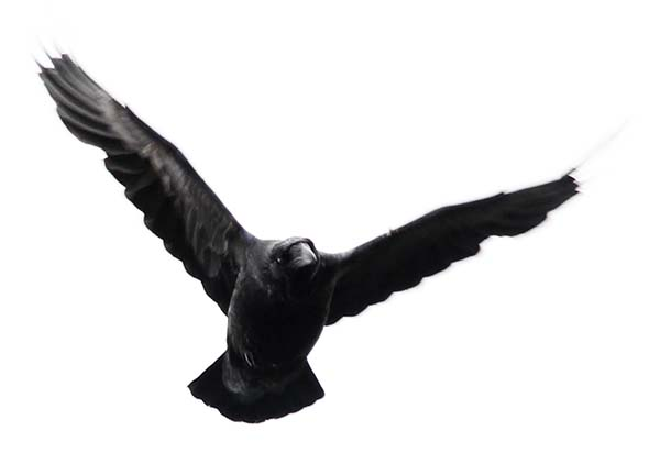 corbeau glacier islande
