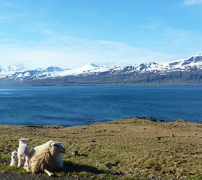 fjord moutons islande