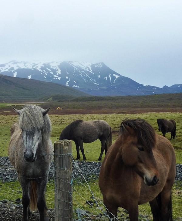poney islandais