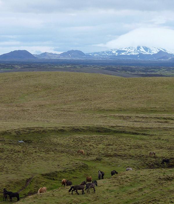 poneys islandais sur la 264