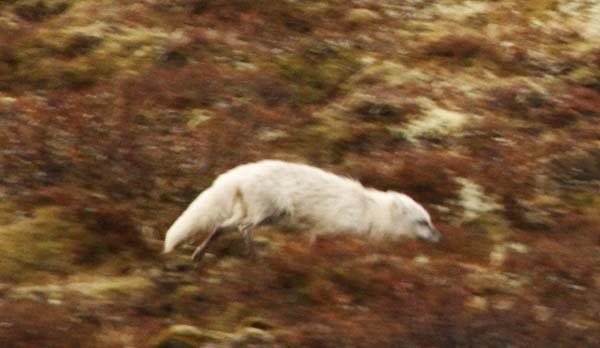 renard polaire islande