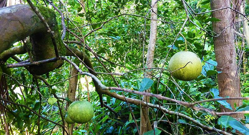reunion jardin arbre a pain