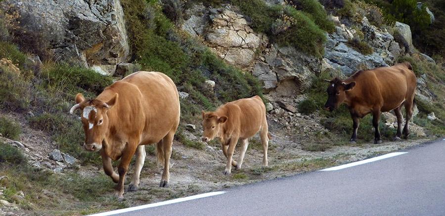 corse vache