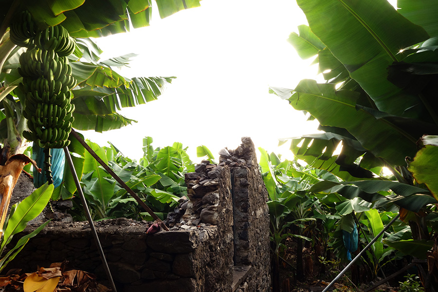 madere madalena do mar plantation banana