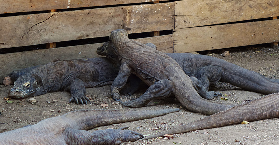 indonesie rinca komodo dragon