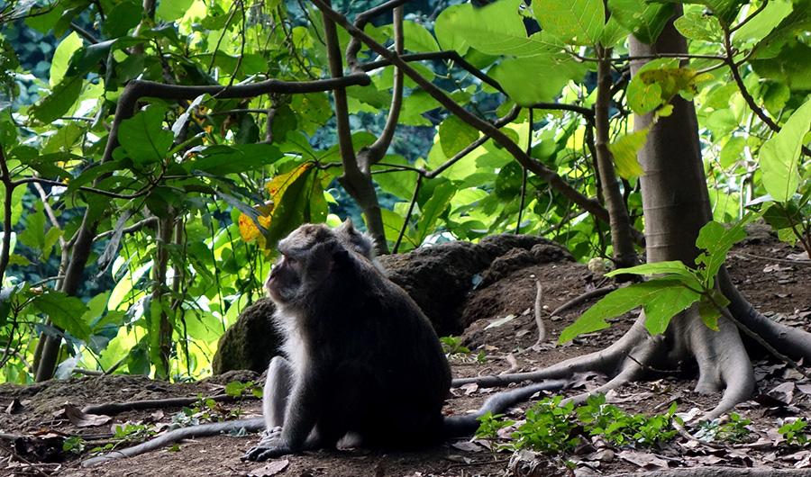 indonesie bali ubud monkey forest singe