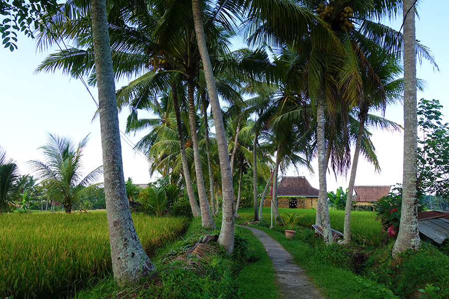 indonesie bali ubud riziere rice field