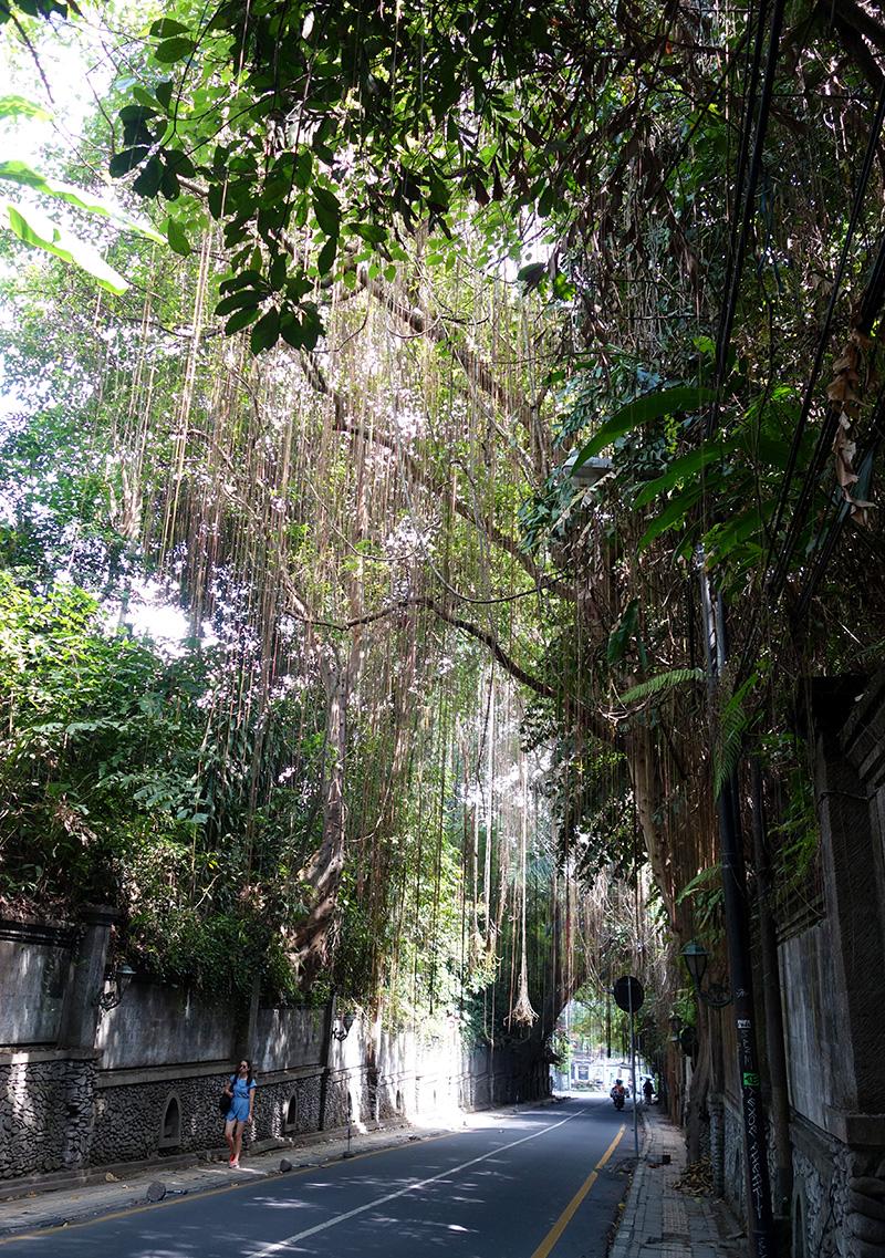 indonesie bali ubud street arbre
