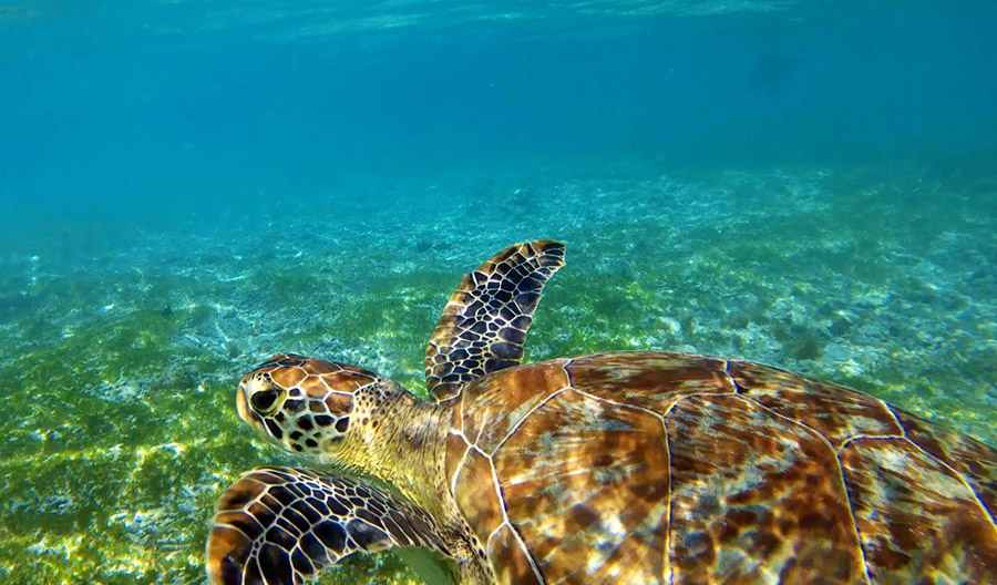 gili air snorkeling tour tortue turtle