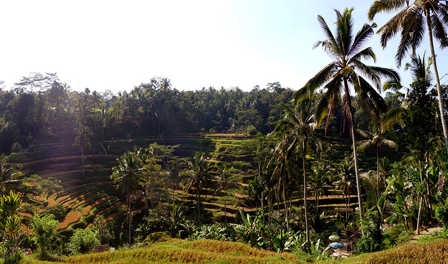 indonesie bali riziere tegallalang rice fields