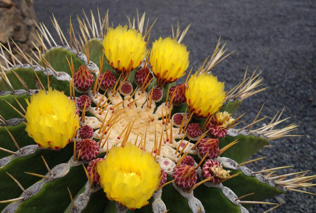 canaries lanzarote jardin cactus