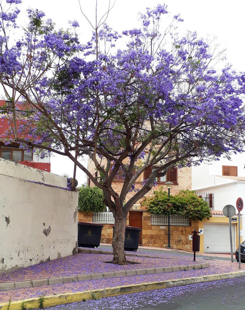 canaries gran canaria las palmas ciudad jardin rue street arbre tree