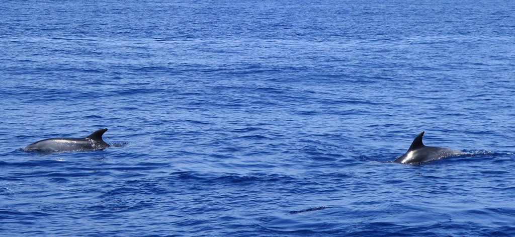 gran canaria canaries spirit of the sea mer ocean dauphin dolphin cetace balade